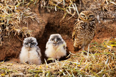 Cute and dangerous owl family Royalty Free Stock Image