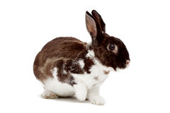 Cute dappled rabbit. On a white background stock photography
