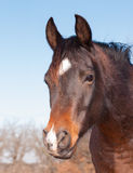 Cute dark bay Arabian horse looking to the left of the viewer Royalty Free Stock Photo