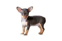 Cute dark brown Chiwawa dog Royalty Free Stock Photos