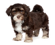 Cute dark chocholate havanese puppy dog is standing Royalty Free Stock Images