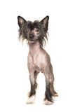 Cute dark naked chinese crested dog standing and facing the came Stock Photography