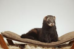 Dark sable color ferret male staying on sofa in studio stock image