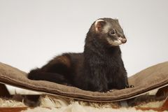 Dark sable color ferret male staying on sofa in studio stock photography
