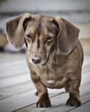 Cute Daschund. A Daschund with perky ears Stock Images