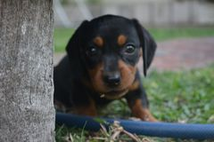 Puppy eating grass cute got cached. Cute dashund puppy eating grass next to a hose looking at the cameransuper cute being extran cute and vulnerable royalty free stock photos