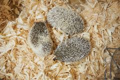 Cute decorative hedgehog, wood sawdust stock image