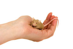 Cute decorative mouse Stock Photo
