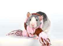 Cute decorative rat with woolen striped scarf Royalty Free Stock Images