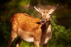 Cute deer. Cute brown deer in the woods stock photo