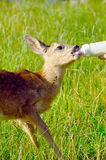 Cute deer drinks milk Stock Image