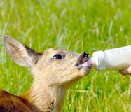 Cute deer drinks milk Royalty Free Stock Photo