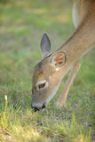 Cute deer eating Royalty Free Stock Photography