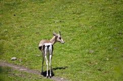 A cute deer Royalty Free Stock Photo