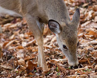Cute deer is eating the leaves in the forest Royalty Free Stock Photos