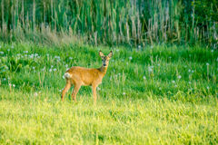 Cute deer on a green field Stock Image