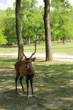 Cute deer in Nara Park Stock Images
