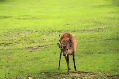 Cute deer in Nara Park Stock Photos