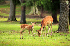 Cute deer in Nara Park Royalty Free Stock Photography