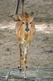 Cute deer. In nature garden royalty free stock photos