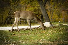 Cute Deer in the Parco Nazionale D`Abruzzo. Italy - Villetta Barrea royalty free stock images