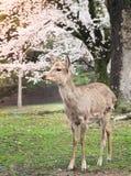 Cute deer with sakura tree in Nara Park Stock Images