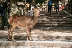 A cute deer standing on the stairs. Cute deer standing on the stairs and waiting for someone to feed it in Nara Japan stock photography