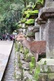Cute deer and stone lanterns at Kasuga Grand Shrine, Nara, Japan. Cute deer and old stone japanese lanterns at Kasuga Grand Shrine Kasuga-Taisha Shrine, Nara royalty free stock images