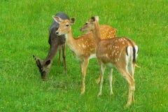 Cute deers trio Stock Photography