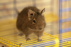 Cute degu on the cage bars Royalty Free Stock Image