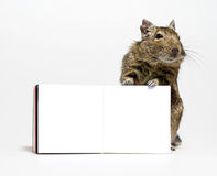 Cute degu rodent with blank poster in paws. Cute degu rodent pet standing with blank poster in paws closeup on white background Stock Photography