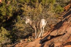 Cute Desert Bighorn Lamb Stock Images