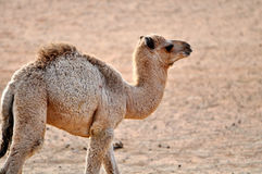 Desert camel Stock Photography