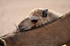 Desert camel Stock Image