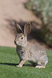 Cute Desert Cottontail Stock Photo