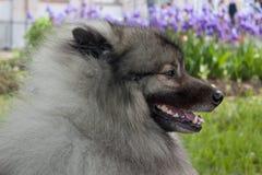 Cute deutscher wolfspitz close up. Keeshond or german spitz. Pet animals stock images