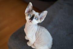 Cute devon rex baby kitten. Beautiful blue-eyed little kitten with big ears Stock Photos