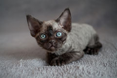 Adorable back Devon Rex kitten is laying down on a sofa Stock Photo