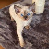 Cute devon rex baby kitten Stock Image