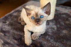 Cute devon rex baby kitten. Devon rex kitten on the scratching post Stock Photography