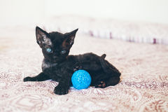 Cute Devon Rex kitten with blue eyes is laying on the bed. Cute and funny kitten is playing with a blue ball. Soft background. Kitten in a playful mood. Devon Stock Photo