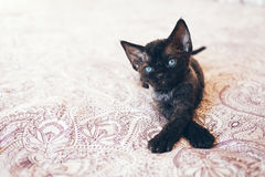 Cute Devon Rex kitten with blue eyes looking at left side is sitting on the bed. Kitten is comfortably settled to sleep or to play. Cute cozy background with Royalty Free Stock Photo