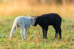 Cute different black and white young lambs on pasture Royalty Free Stock Images