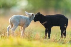 Cute different black and white young lambs on pasture. Early morning in spring. Symbol of spring and newborn life. Concept of diversity stock images