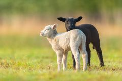 Cute different black and white young lambs on pasture. Early morning in spring. Symbol of spring and newborn life. Concept of diversity royalty free stock image