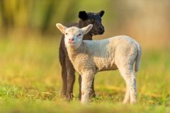 Cute different black and white young lambs on pasture Royalty Free Stock Photo