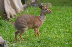 Cute Dik Dik with a Small Twig in His Mouth Stock Images