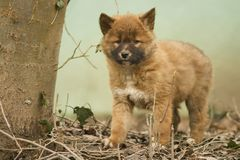 Cute dingo puppy in the dry habitat Stock Photography