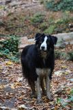 Cute dirty border collie with autumn leaves stock photos