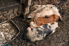 Cute dirty piglets on the farm stock images
